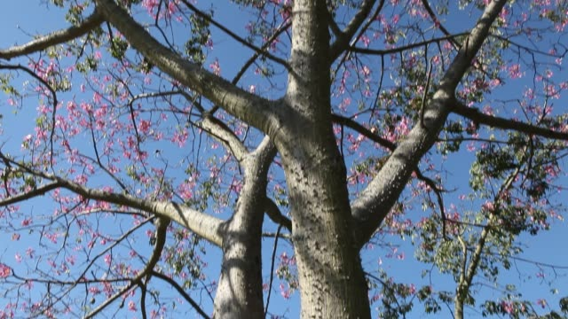 A Silk floss tree near Foz do Iguaçu in Brazil which is also called palo borracho or samu'ũ or paineira The flowers are pink towards the tips of...