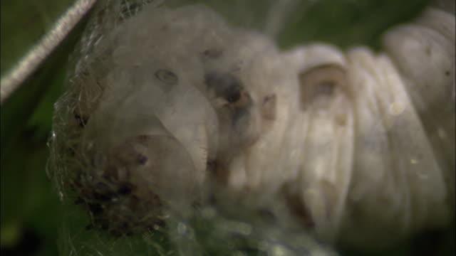 Silkworm caterpillar (Bombyx mori) spins cocoon