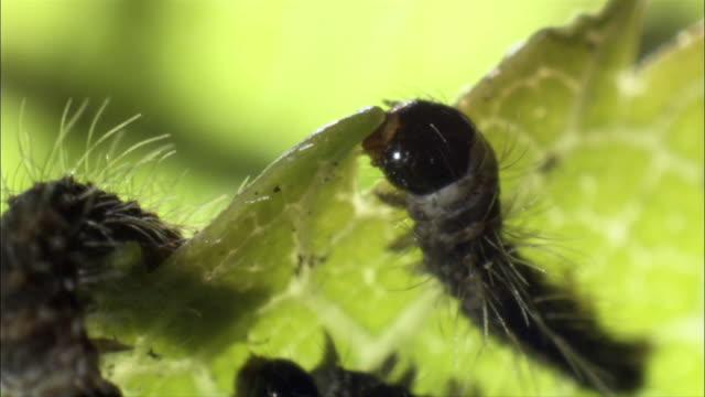 vídeos de stock, filmes e b-roll de silkworm caterpillars (bombyx mori) feed on leaf. - grupo pequeno de animais