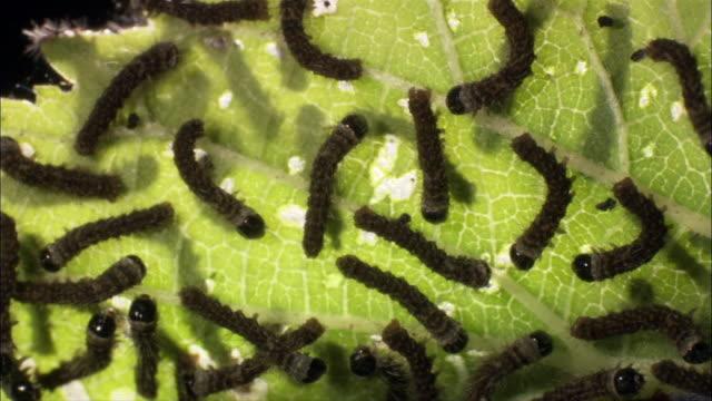 Silkworm caterpillars (Bombyx mori) feed on leaves.