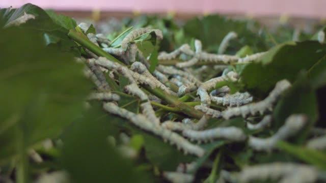 vidéos et rushes de silkworm close-up. farm at bao loc vietnam - cocon