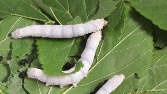 vídeos de stock, filmes e b-roll de bicho-da-seda que come a folha verde do mulberry - larva