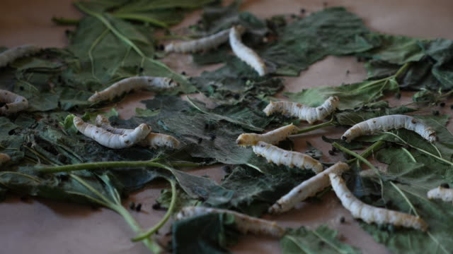 silkworm eating mulberry leaf slow motion - tradition stock videos & royalty-free footage