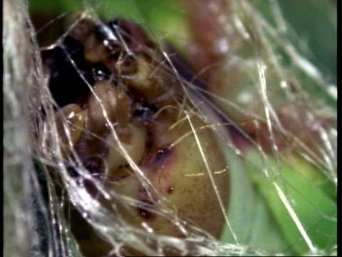 bcu silkworm larvae, bombyx mori, weaving silk - moth stock videos & royalty-free footage