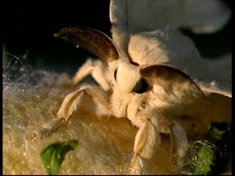 silkworm moth, bombyx mori, portrait of furry adult with radar like antenna, bcu, israel - moth stock videos & royalty-free footage
