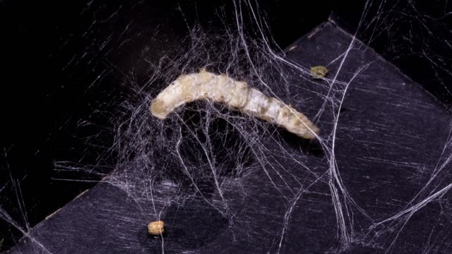 silkworm pupa process, time-lapse photography - bird's nest stock videos & royalty-free footage