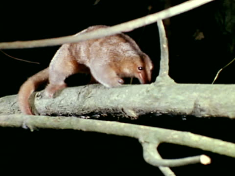 Silky Anteater walking on tree branch sniffing trunk CU Silky Anteater back leg amp prehensile tail