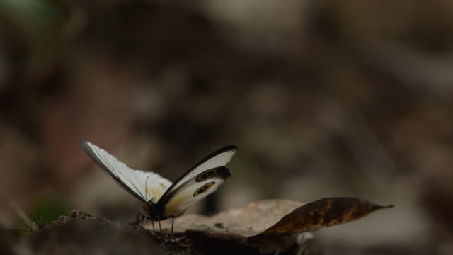 silky owl butterfly opens its wings - tierflügel stock-videos und b-roll-filmmaterial