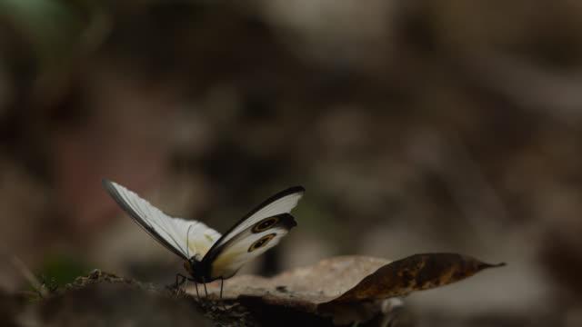 stockvideo's en b-roll-footage met silky owl butterfly opens its wings - dierenvleugel