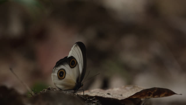 Silky owl butterfly takes off