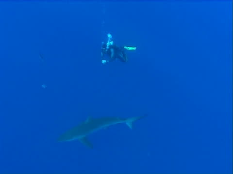 Silky shark  WS and divers in open water