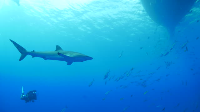 Silky shark and school of fish swimming under ship