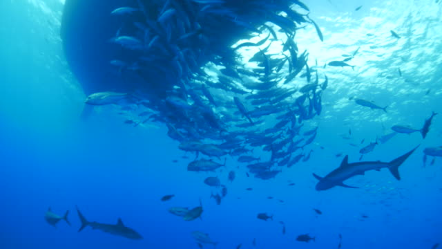 Silky shark and school of trevally jack at bottom of ship