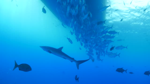 Silky shark and school of trevally jack fish under ship