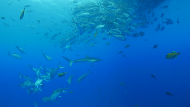 Silky shark and school of trevally jack fish undersea
