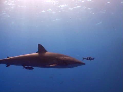 Silky shark WS approaches and passes camera