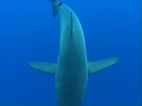 Silky shark  CU as swims under camera