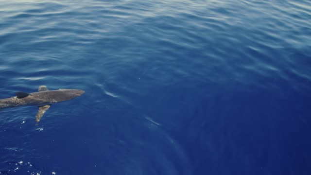 Silky Shark at surface in slow motion