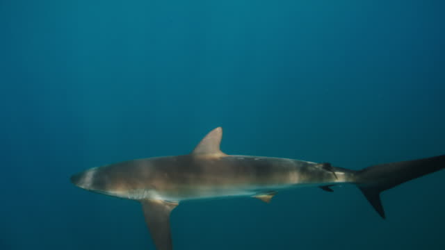 silky shark at surface in slow motion - silky shark stock videos & royalty-free footage