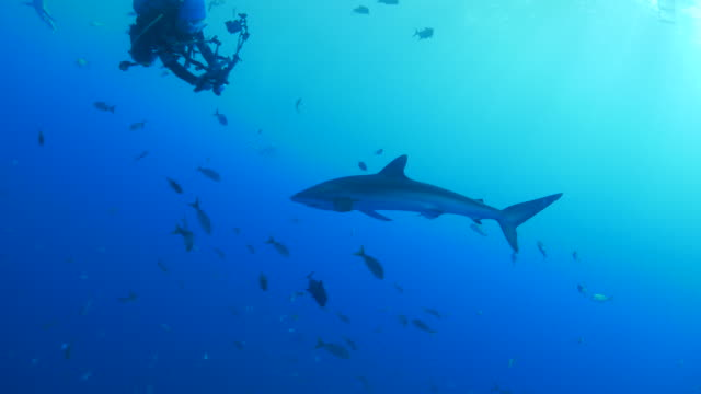 Silky shark cruising around the scuba diver