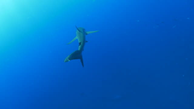 Silky shark cruising undersea