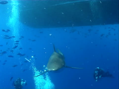 Silky shark WS divers and fish under boat hull