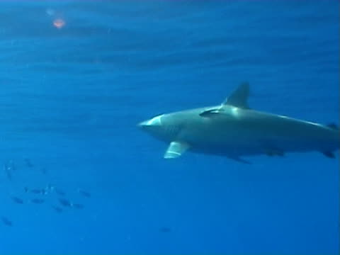 Silky shark WS feeding on bait by surface, sun rays