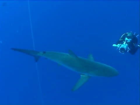 Silky shark  WS filmed by videographer