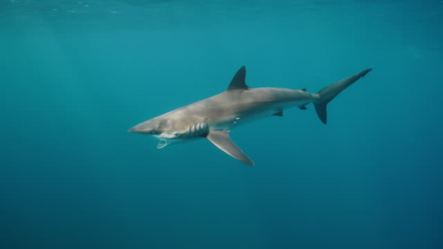silky shark gaping - silky shark stock videos & royalty-free footage