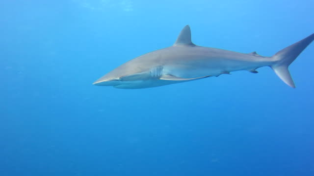 Silky Shark In Blue Water Close Up