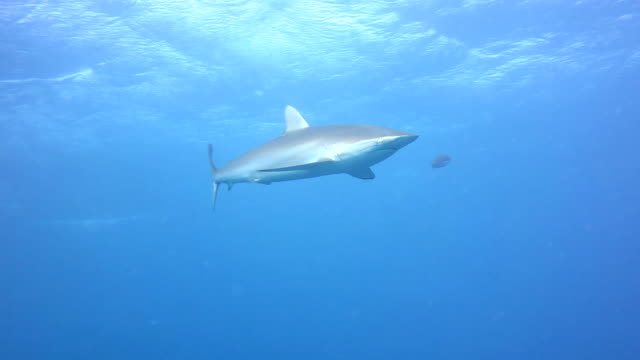 Silky Shark In Blue Water