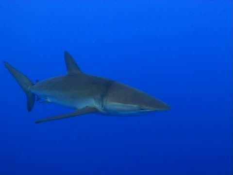Silky shark CU in open water