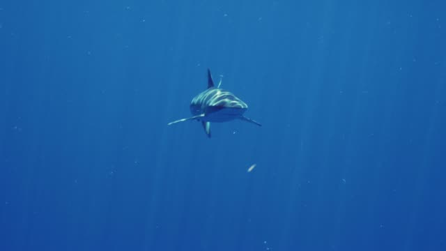 silky shark in slow motion - shark stock videos & royalty-free footage
