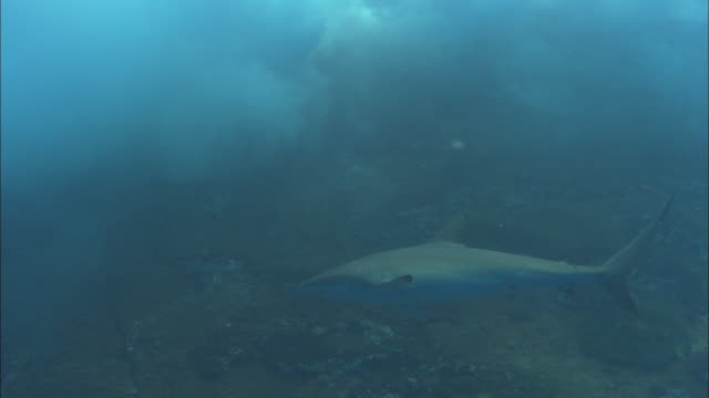 silky shark roca partida, mexico  - silky shark stock videos & royalty-free footage