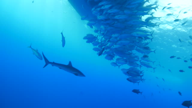 Silky shark, school of trevally jack fish, swimming