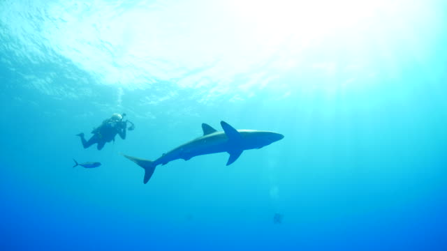 Silky shark, school of trevally jack, scuba diver
