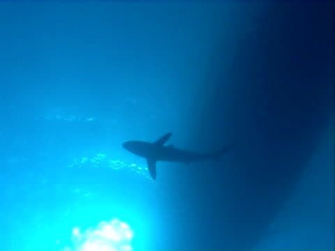 Silky shark  WS silhouette under boat