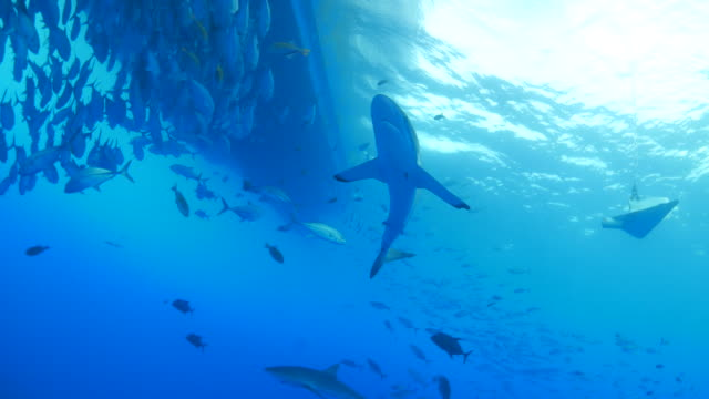 Silky shark swimming around the school of trevally jack