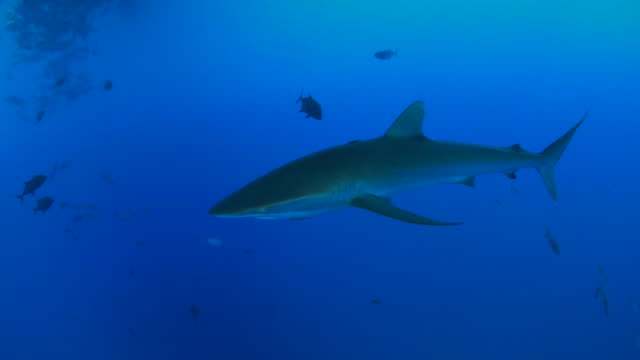 Silky shark swimming close to