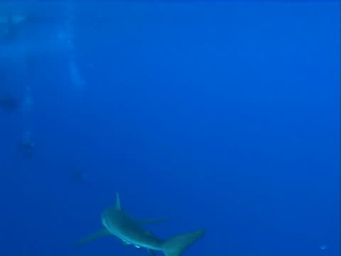 Silky shark  WS swims away from camera towards group of divers
