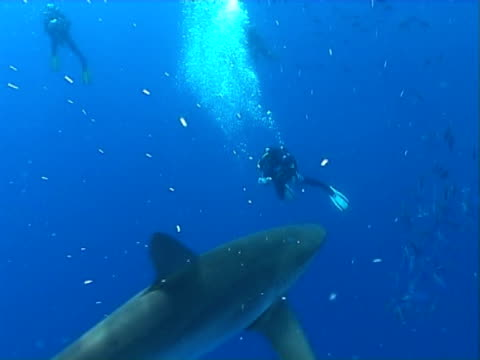 Silky shark  WS swims in front of divers