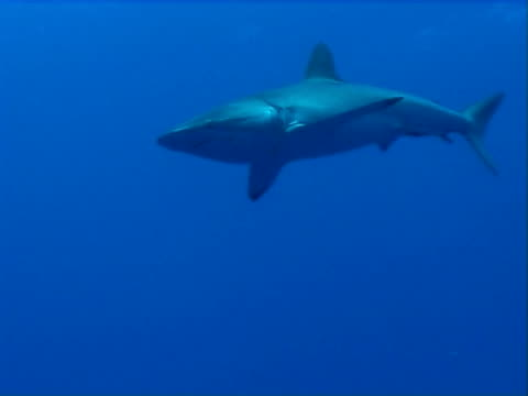 Silky shark  WS swims passed