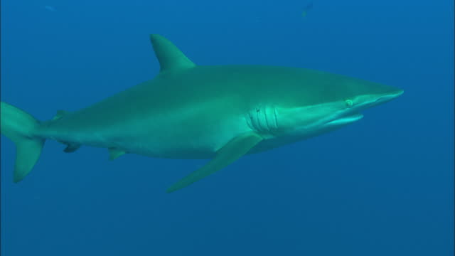 Silky shark to camera, Saudi Arabia, Gulf