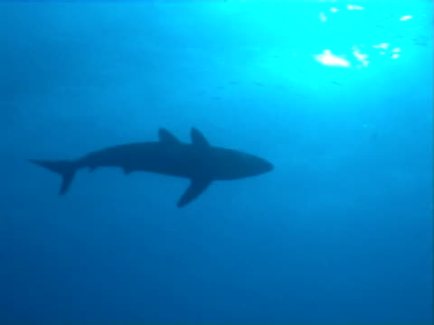Silky shark  MS underside silhouette as swims under boat