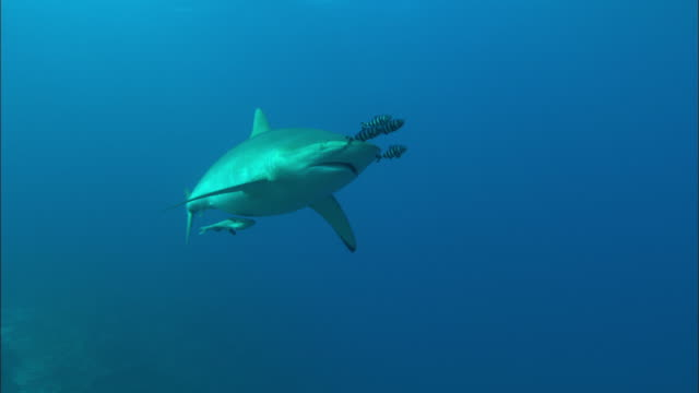 Silky shark up to camera reef led by pilot fish with remora following, Saudi Arabia, Gulf