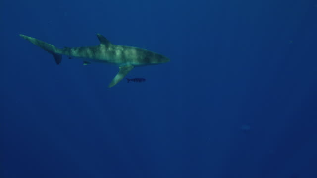 silky shark - silky shark stock videos & royalty-free footage