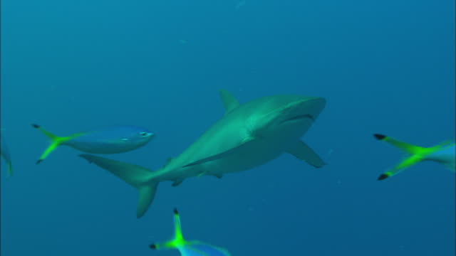 Silky shark with bent fin swim by with small fish, Saudi Arabia, Gulf