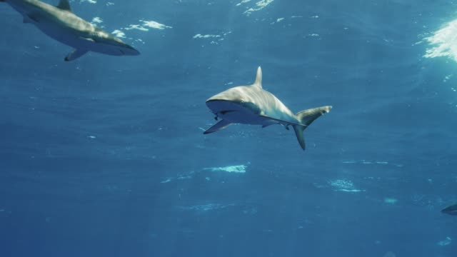 Silky Shark with fish hook