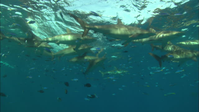 Silky shark with pilot fish good eye movement at camera, Saudi Arabia, Gulf