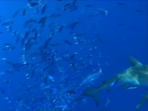 Silky shark x2 WS with shoal of reef fish